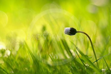 Beautiful natural background of green grass and daisy...