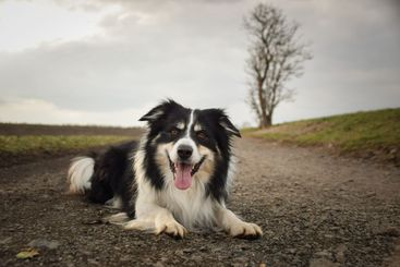 Border collie is laying on nature road.