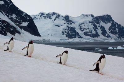 Penguins walking