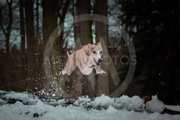 whippet in jump