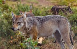Wolf female attentively in a Swedish forest