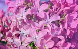 Purple beautiful lilac flowers in nature