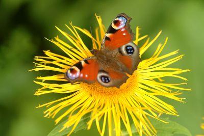 Schmetterling | butterfly