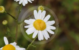 Leucanthemum vulgare, commonly known as the ox-eye...