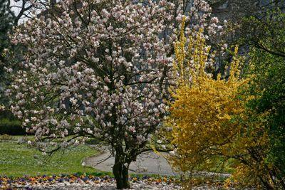 Forsythia and Magnolia-tree