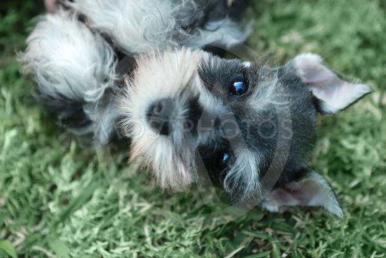 Miniature Schnauzer Puppy Outdoors