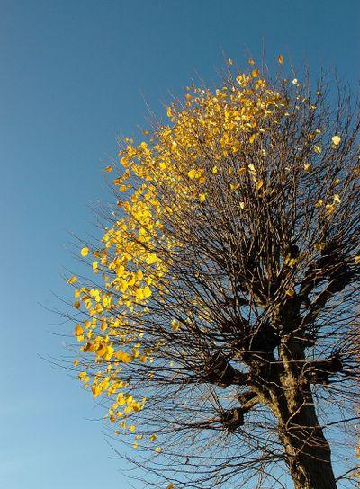 pileträd