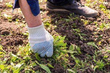 old man hands uprooting weeds in his garden