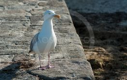 seagull standing on stoned quay in border sea