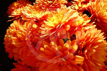 Bright orange dahlias bloom in the fall.