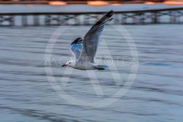fiskmås flyger