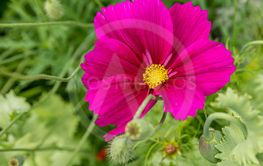 Vivid magenta poppy viewed from above