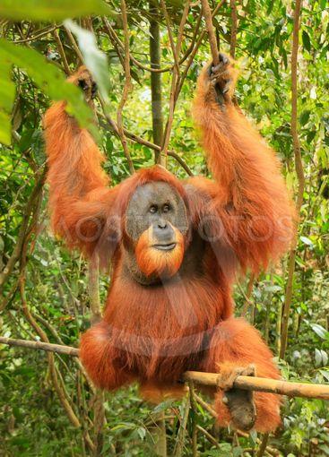 Male Sumatran orangutan (Pongo abelii) sitting on a...