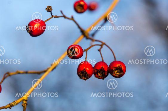 Närbild av glänsande hagtornsbär