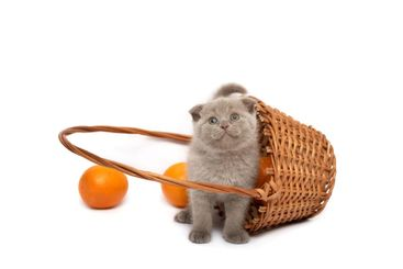 The Scottish Fold kitten sits in basket  with  an orange