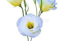 flowers eustoma isolated on white background