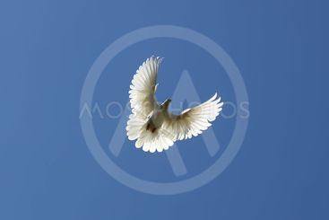 Dove in the air