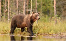 Big male brown bear walking in water at summer