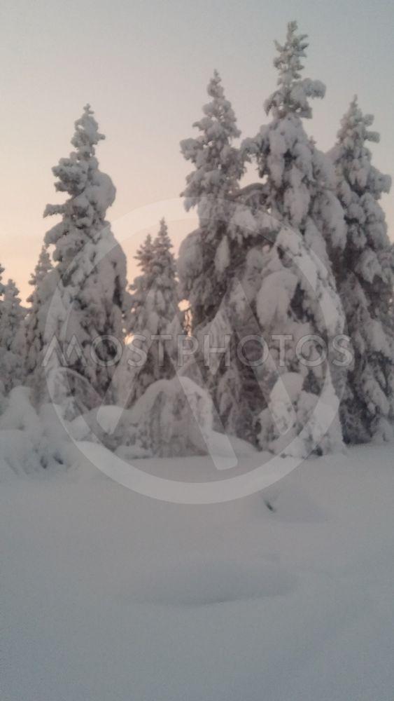 Snöiga träd _4