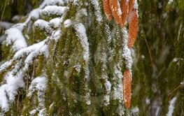 Spruce. Branches, cones, needles. Snow. Zoom.
