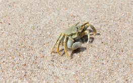 A big crab on the sand