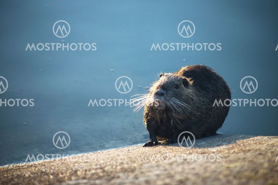 nutria in border water by sunset