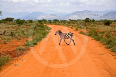 Kenya : Tsavos park : zebra crossing the track