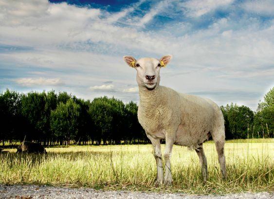 Hvide får