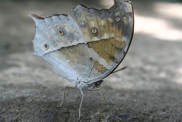camouflage butterfly