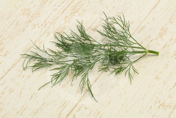 Fresh green dill herb branch
