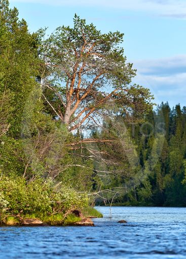 Pine tree and other trees by the river bend