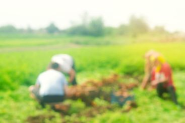 Blurred image of workers on the field. Harvesting...