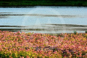 Wild flowers bed by the river