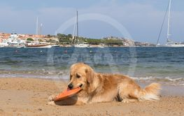 Golden retriever playing with frisbee on dogs friendly...