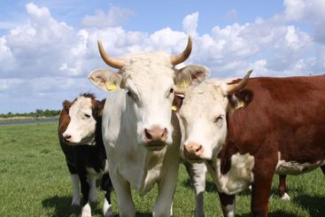 Brown and white cows posing for the camera