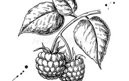 Raspberry vector drawing. Isolated berry branch sketch on...