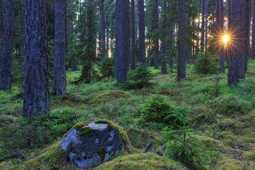 Sunlight through forest Värmland, Sweden, Europe