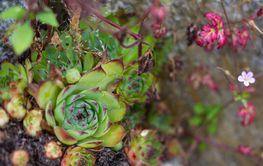 Succulents in the garden