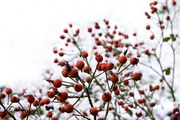 Branches with red berries in wintersnow