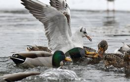hungry gull and mallard fighting for food