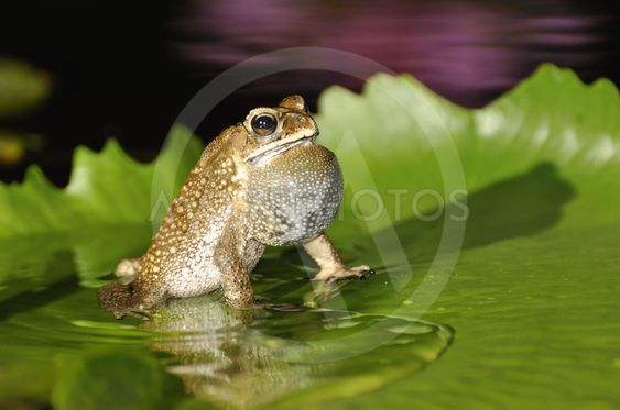 Black Spined Toad singing with a purple waterlily...
