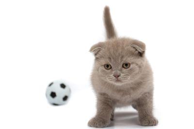 Scottish Fold kitten  on a white background