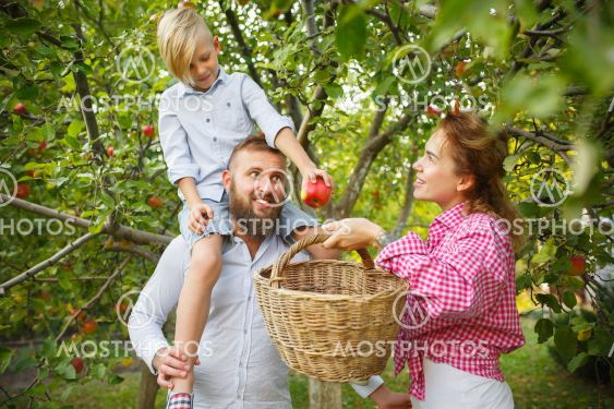 Happy young family during picking apples in a garden...
