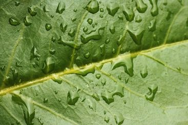 Macro of evergreen leaf with water drops