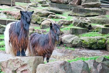 mountain goats at the zoo