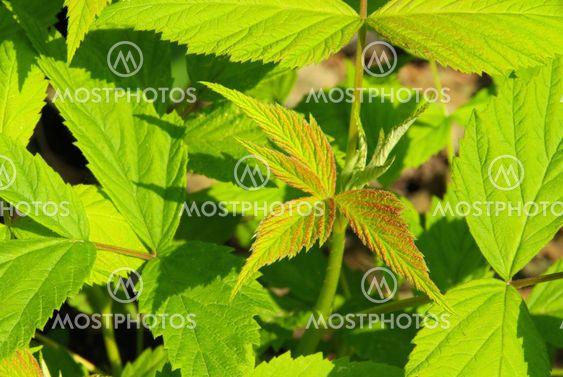 Himbeerblatt - leaf from raspberry 01