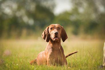 Dogs, weimaraner is lying in grass.