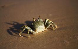 crab on the beach