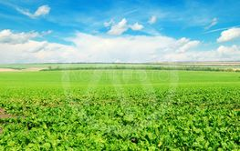 Picturesque green beet field and blue sky with light...