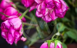 Faded purple roses flowers on  wooden background, close...